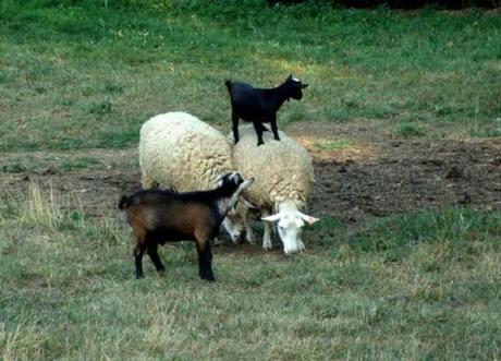 Les Chèvres à Saute Mouton
